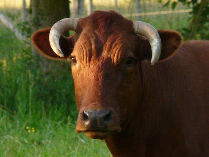 cow-56014_960_720