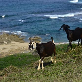 goats-1284632_960_720